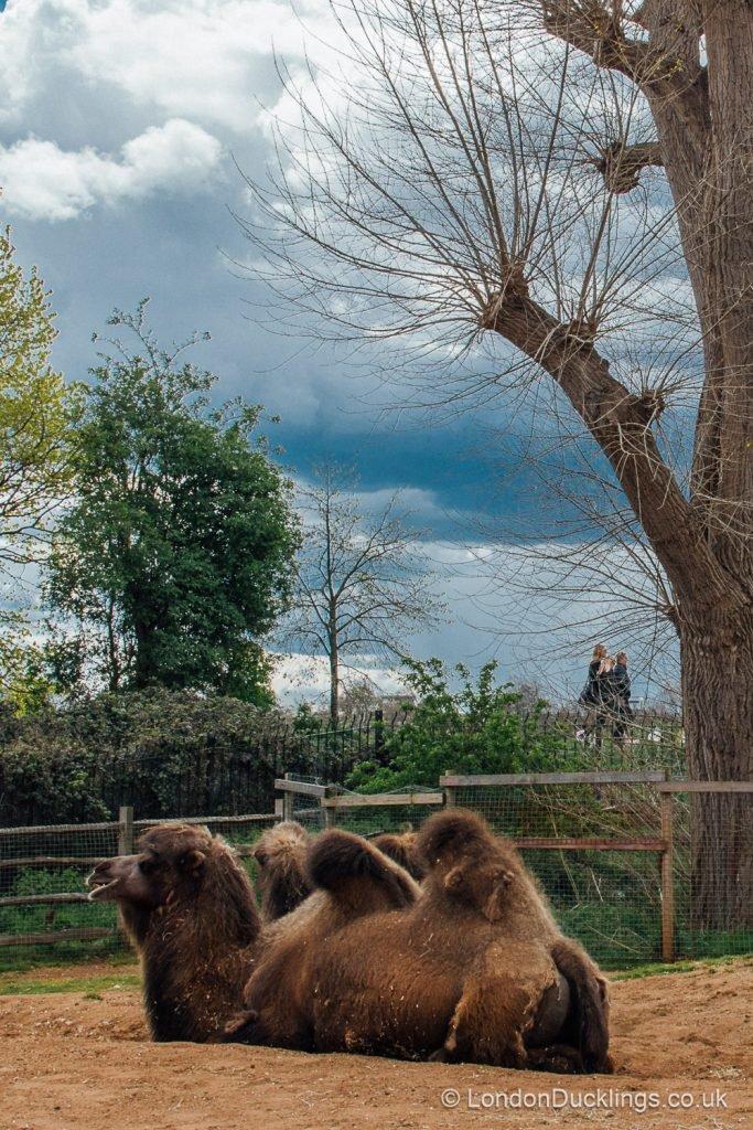 camels at london zoo