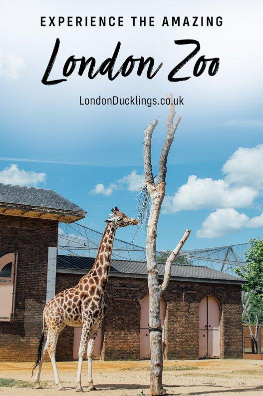Giraffe at London Zoo