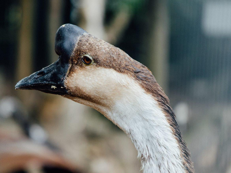 Goose at Vauxhall City Farm