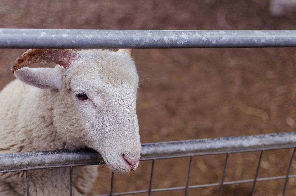goat at crystal palace farm