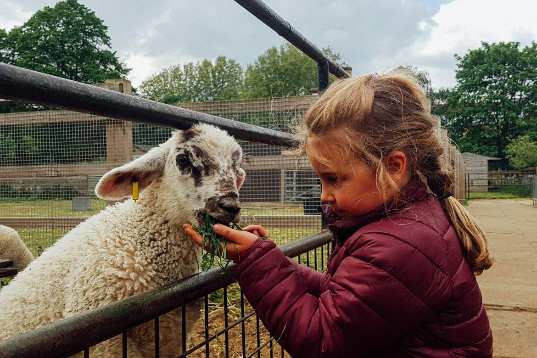 Girl feeding a lamb on a city farm in London
