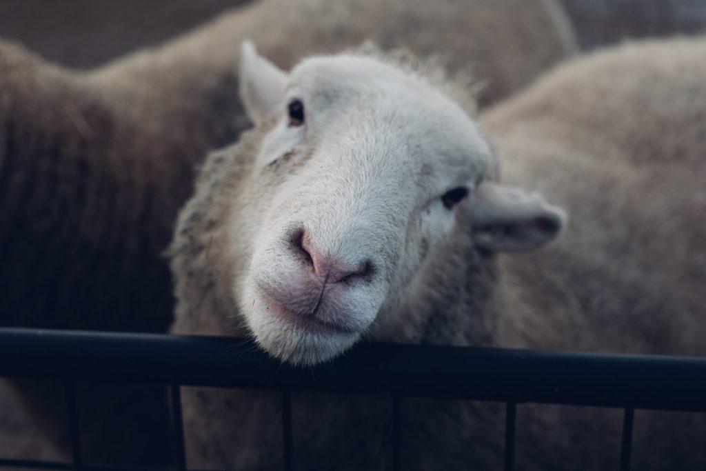 Sheep at Spitalfields Farm
