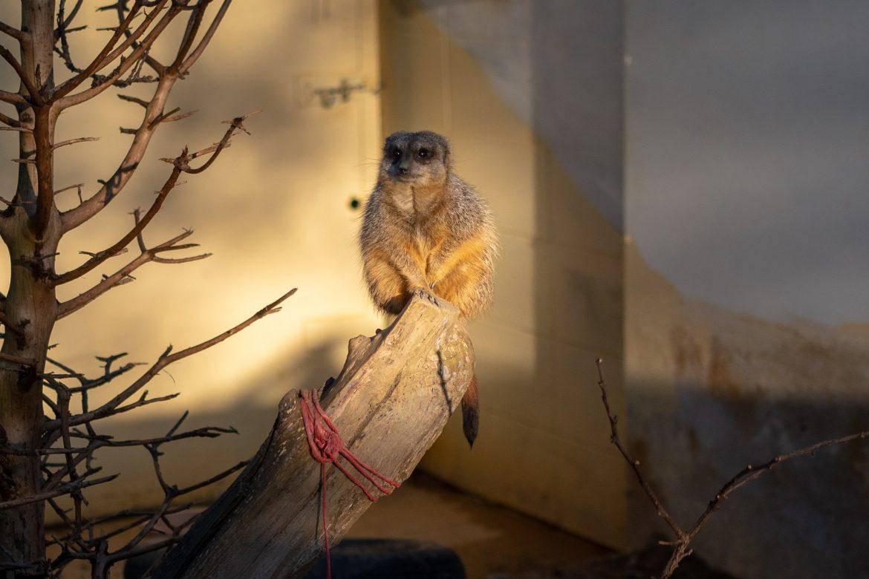 Meerkats at Crystal Palace Farm