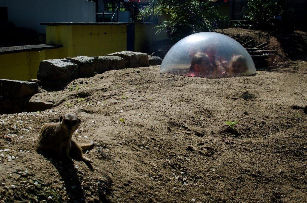 children watching meerkats in the zoo