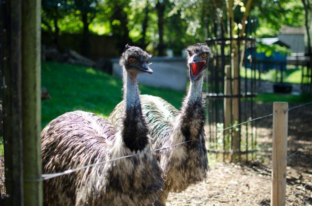 ostrich in children's zoo