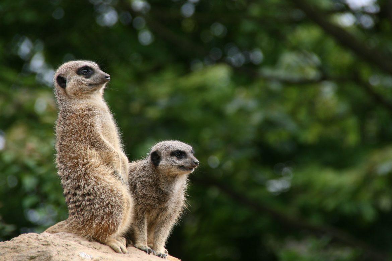 Meerkats at Lee Valley Farm