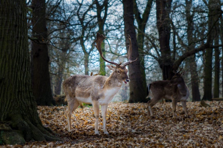 Stag in Richmond Park